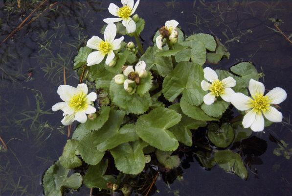 Разновидность калужницы с белыми цветками