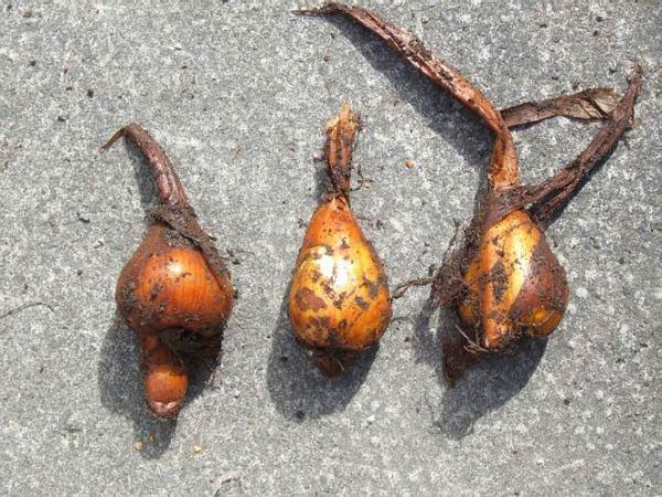 Луковицы безвременника осеннего