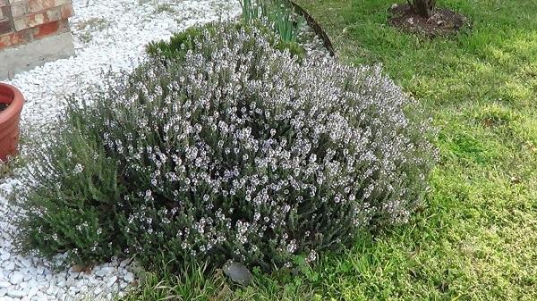 Цветущий куст тимьяна около дома