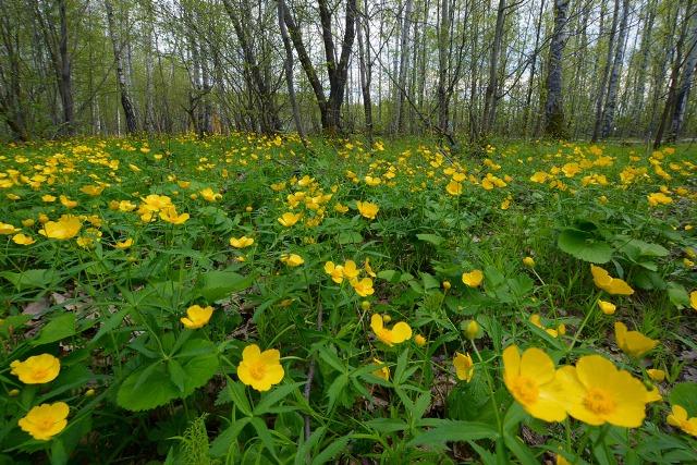 Цветение анемонов в природе