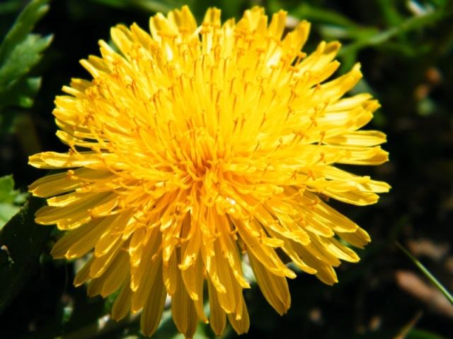 Одуванчик цветок для души