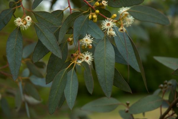 Растение используют для изготовления масла, пряжи, банных веников