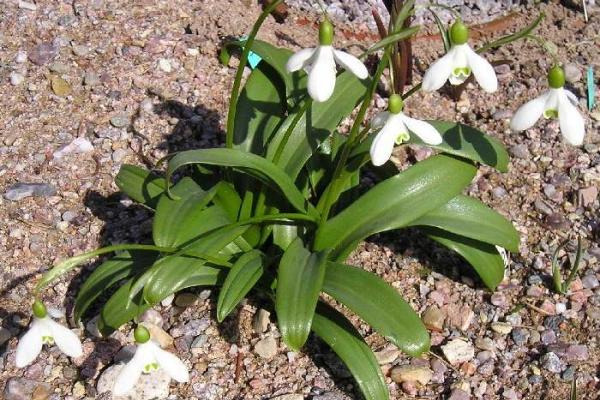 Подснежник плосколистный: почему сорт в Красной Книге, описание растения