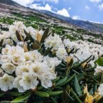 Где встречается рододендрон кавказский
