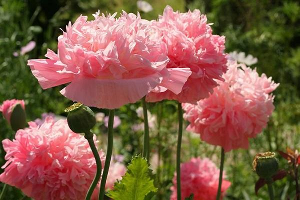 цветение цветка