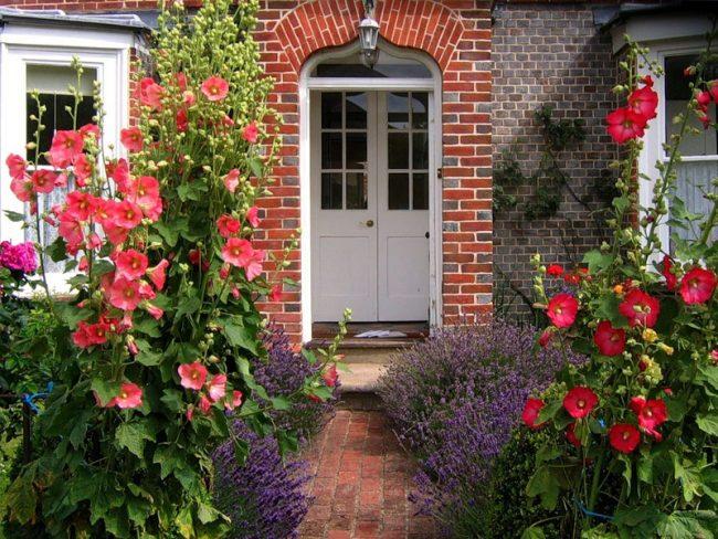 Цветение мальвы вдоль дома