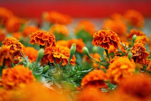 Бархотки цветут с начала лета до конца осени, обладают сильным запахом
