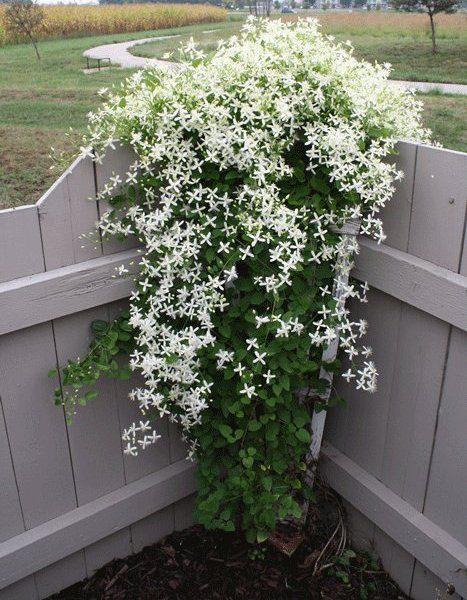 Клематис маньчжурский предпочитает расти на плодородных почвах, желательно на суглинистых или супесчаных