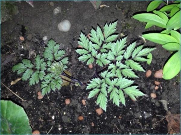 Клопогон легко размножается делением куста и черенкованием