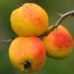 Плоды сьедобны и используются в кулинарии