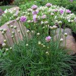 Армерию используют в миксбордерах, рабатках, каменистых садах и альпинариях