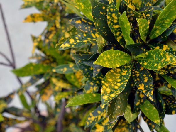 При правильном освещении листья аукубы выглядят здоровыми