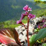 Цветки бадана тихоокеанского