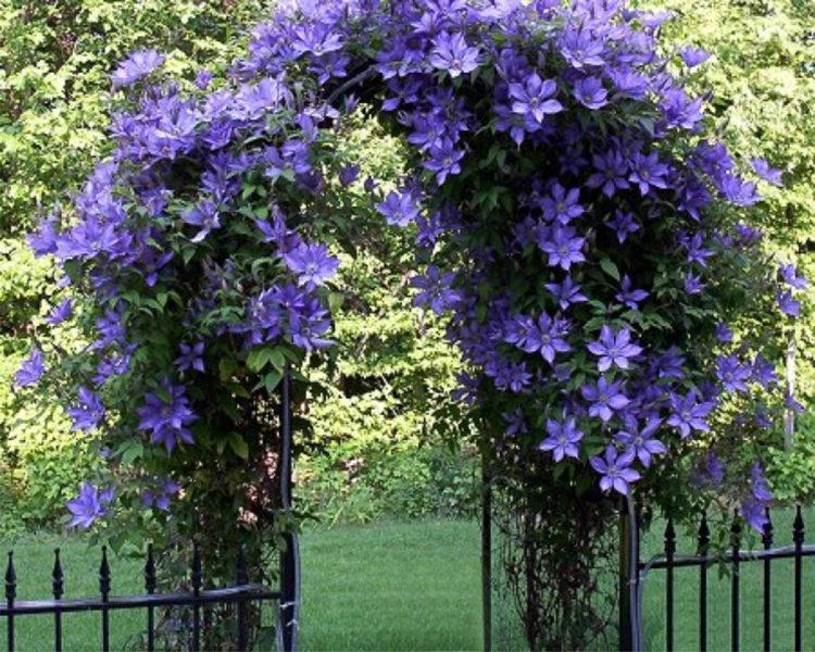 Арка в саду с цветами клематиса