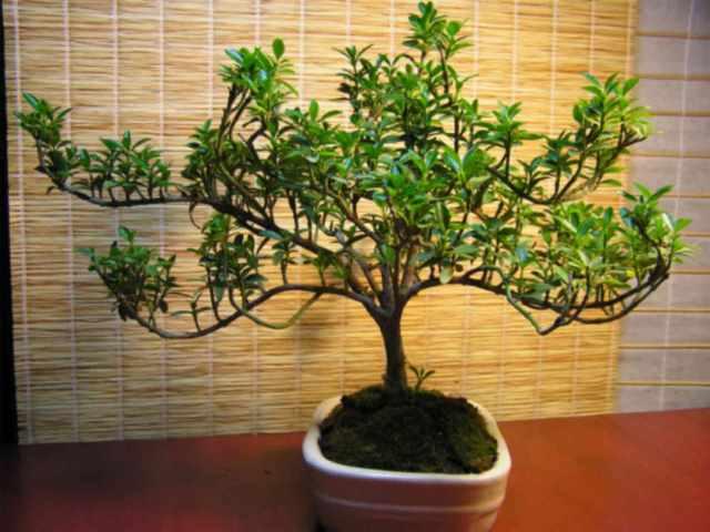 Молодое деревце бересклета японского