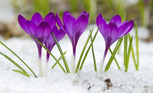 Цветение крокусов ранней весной