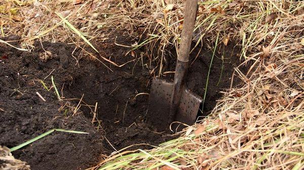 Для посадки будлеи необходима яма шириной минимум 40см