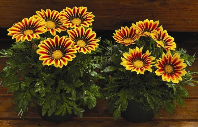 Газмания цветение дома