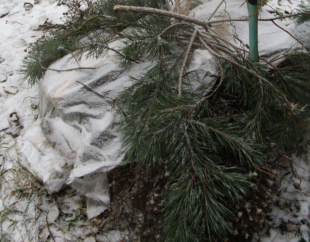 Укрытие клематиса на зиму