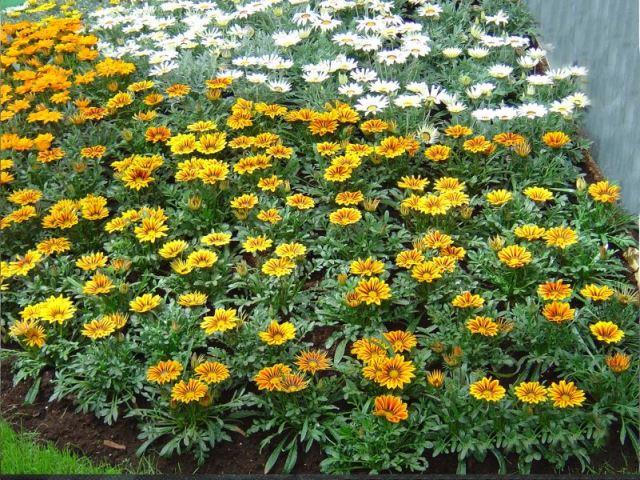 Цветок газмания на дачном участке