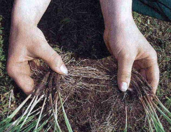 Армерия хорошо размножается делением куста