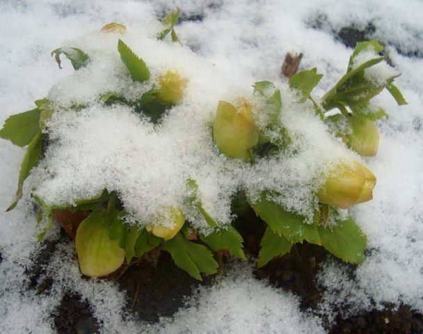 Цветки морозника, присыпанные снегом