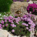 Растение хорошо смотрятся на каменистых кладках или естественных горных склонах