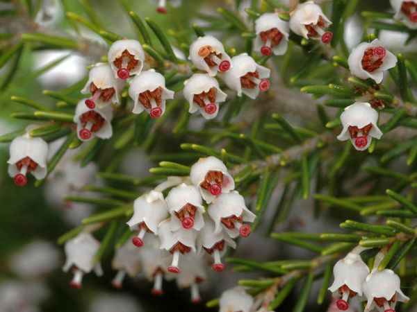 Семена эрики можно собрать самостоятельно после высыхания соцветий