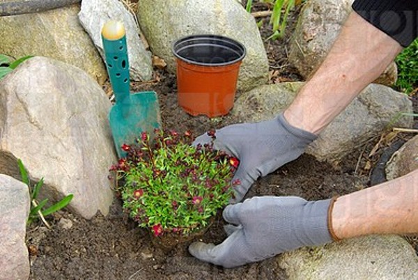 Рассаду камнеломки можно высаживать уже в начале лета, в первой неделе июня