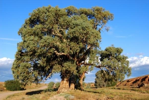 Высота дерева может достигать 150 метров, а диаметр ствола – 25 метров