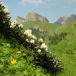 Цветение рододендрона на склонах кавказских гор