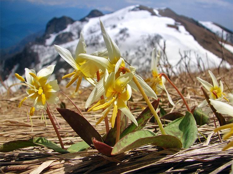 Цветок кадык в горах
