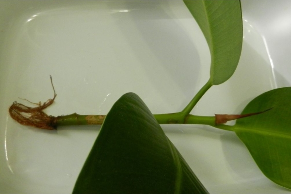 Размножают цветок черенками и отводками