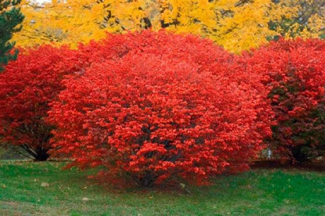 Пышное цветение кустарника бересклет