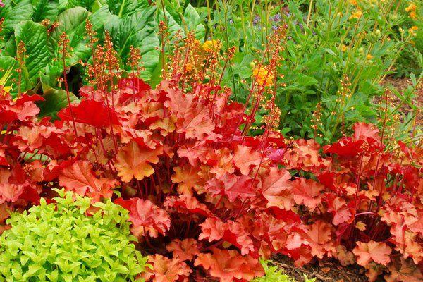 Гейхера с красными листьями теряет яркость при недостатке света
