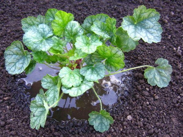 При поливе гейхеры необходимо избегать попадания воды на листья