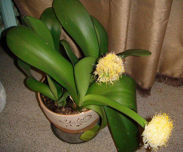 Сорт белоцветковый можно выращивать в тени