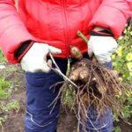 Удаление гнилых и вялых отростков корней