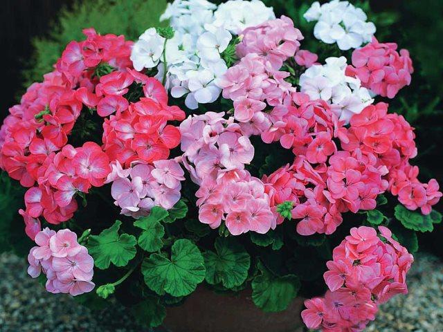 Цветок пеларгония