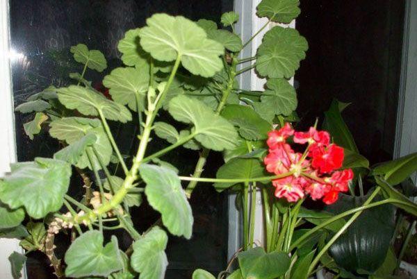 Если герань не цветет - нужно внимательно осмотреть ее