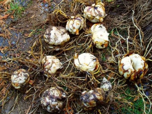Просушка луковиц лилий перед хранением