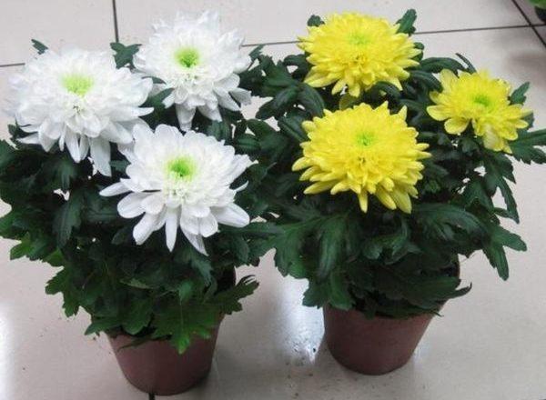Хризантемы комнатные