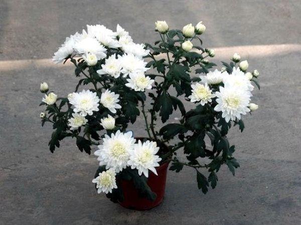 Освещение хризантемы необходимо минимизировать