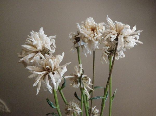 При недостаточном поливе хризантема может засохнуть