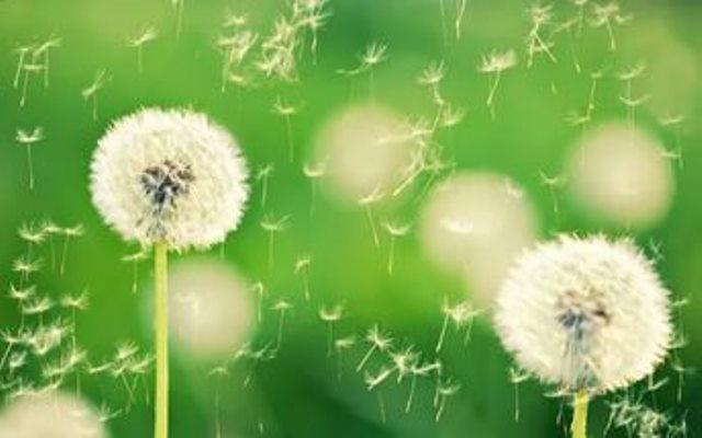 Рассеивание семян одуванчика