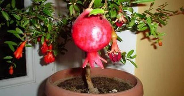 Плод домашнего гранатового дерева