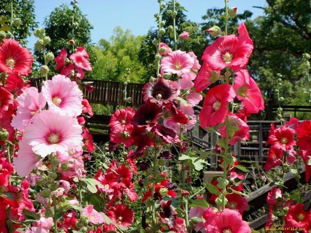 Розовые цветки мальв, растущие на даче