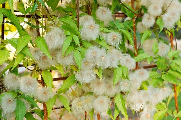 Плоды с семенами клематиса Тангутского