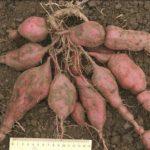 Плоды сорта Кумара Рэд