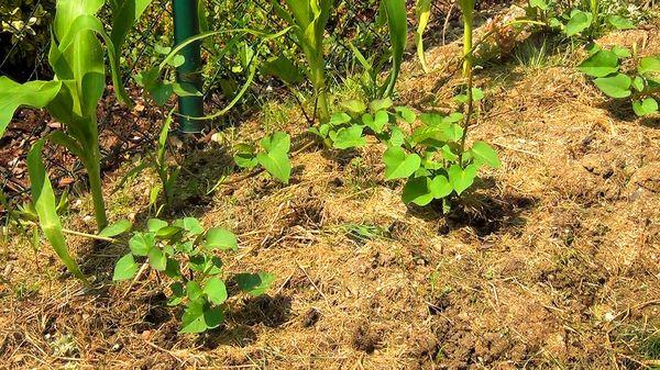 В грунт батат высаживают только после установления тепла